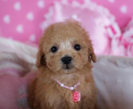 トイプードルの子犬(ID:1241511076)の2枚目の写真/更新日:2017-01-17