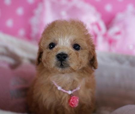 トイプードルの子犬(ID:1241511076)の3枚目の写真/更新日:2017-01-17