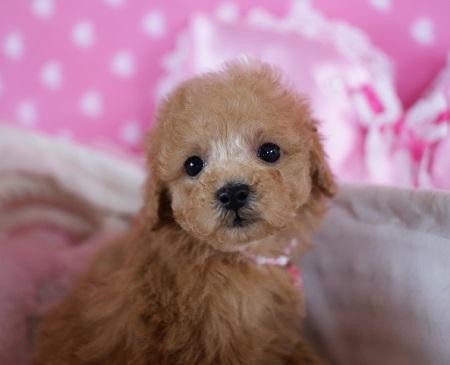 トイプードルの子犬(ID:1241511076)の5枚目の写真/更新日:2017-01-17