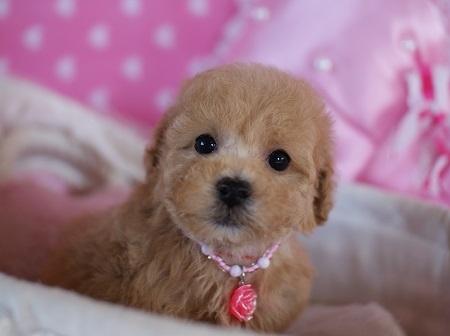 トイプードルの子犬(ID:1241511077)の1枚目の写真/更新日:2017-01-17
