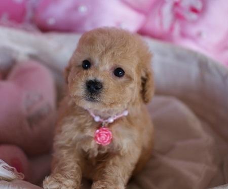 トイプードルの子犬(ID:1241511077)の3枚目の写真/更新日:2017-01-17