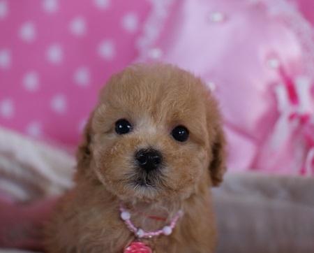 トイプードルの子犬(ID:1241511077)の4枚目の写真/更新日:2017-01-17