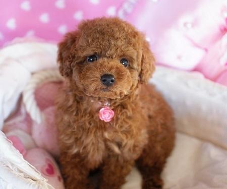 トイプードルの子犬(ID:1241511080)の2枚目の写真/更新日:2017-02-12