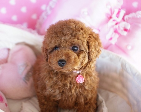 トイプードルの子犬(ID:1241511080)の4枚目の写真/更新日:2017-02-12