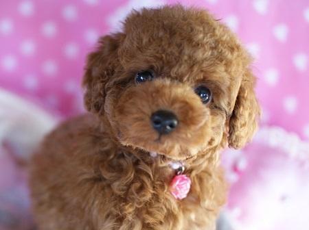 トイプードルの子犬(ID:1241511080)の5枚目の写真/更新日:2017-02-12