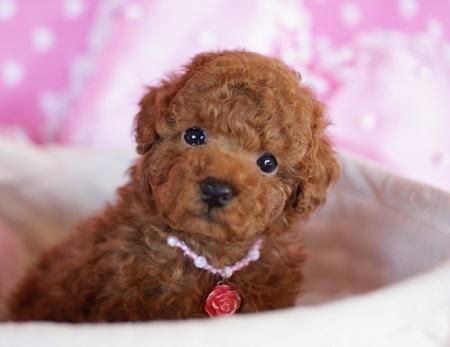 トイプードルの子犬(ID:1241511081)の1枚目の写真/更新日:2017-01-24
