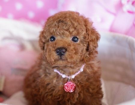 トイプードルの子犬(ID:1241511081)の2枚目の写真/更新日:2017-01-24