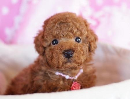 トイプードルの子犬(ID:1241511081)の3枚目の写真/更新日:2017-01-24