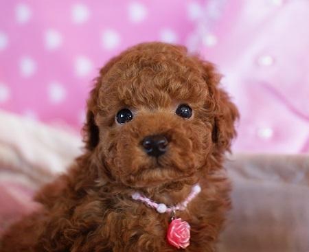 トイプードルの子犬(ID:1241511081)の4枚目の写真/更新日:2017-01-24