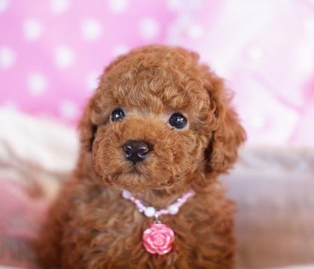 トイプードルの子犬(ID:1241511081)の5枚目の写真/更新日:2017-01-24