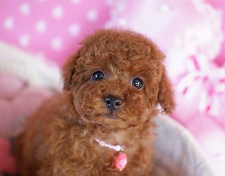 トイプードルの子犬(ID:1241511082)の1枚目の写真/更新日:2017-02-24