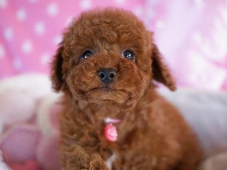 トイプードルの子犬(ID:1241511082)の2枚目の写真/更新日:2017-02-24