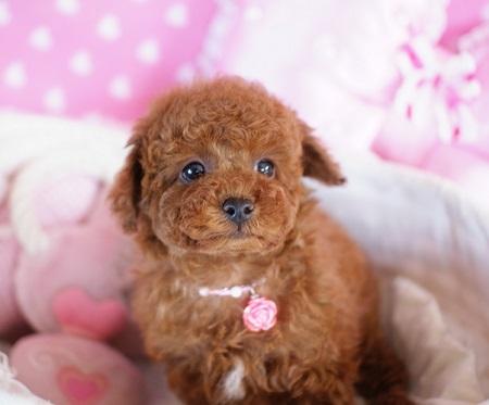 トイプードルの子犬(ID:1241511082)の3枚目の写真/更新日:2017-02-24