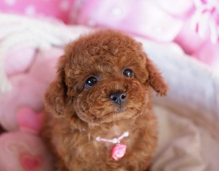 トイプードルの子犬(ID:1241511082)の4枚目の写真/更新日:2017-02-24