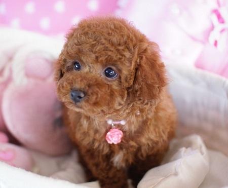 トイプードルの子犬(ID:1241511082)の5枚目の写真/更新日:2017-02-24
