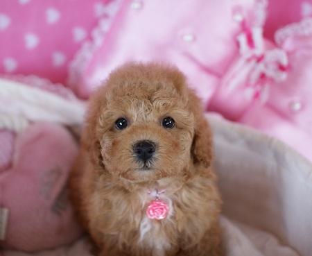 トイプードルの子犬(ID:1241511083)の1枚目の写真/更新日:2017-06-19