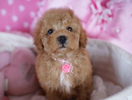 トイプードルの子犬(ID:1241511083)の2枚目の写真/更新日:2017-06-19