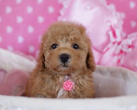 トイプードルの子犬(ID:1241511083)の3枚目の写真/更新日:2017-06-19
