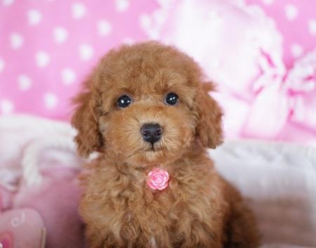 トイプードルの子犬(ID:1241511084)の1枚目の写真/更新日:2017-06-26