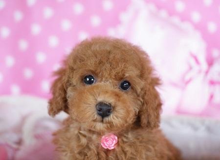 トイプードルの子犬(ID:1241511084)の2枚目の写真/更新日:2017-06-26