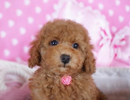 トイプードルの子犬(ID:1241511084)の3枚目の写真/更新日:2017-06-26