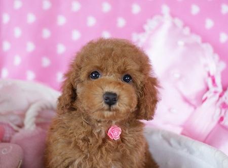 トイプードルの子犬(ID:1241511084)の4枚目の写真/更新日:2017-06-26