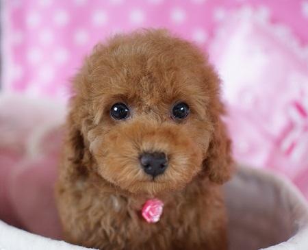 トイプードルの子犬(ID:1241511084)の5枚目の写真/更新日:2017-06-26