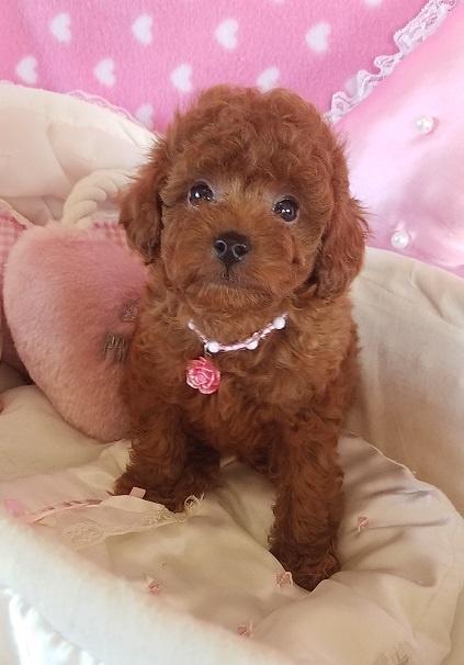 トイプードルの子犬(ID:1241511088)の1枚目の写真/更新日:2017-09-20