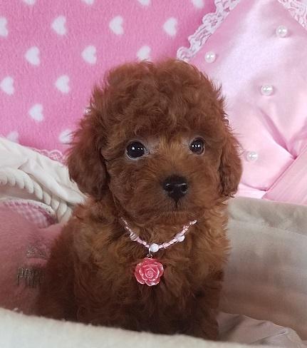 トイプードルの子犬(ID:1241511088)の3枚目の写真/更新日:2017-09-20