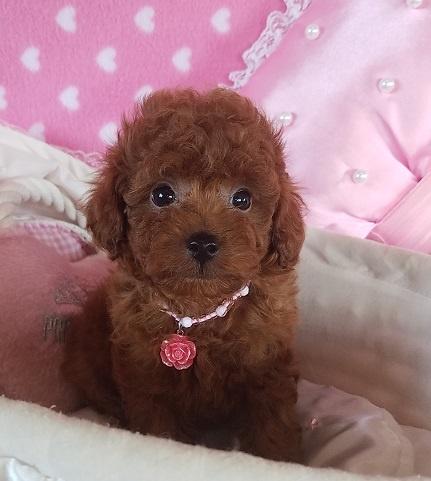 トイプードルの子犬(ID:1241511088)の4枚目の写真/更新日:2017-09-20
