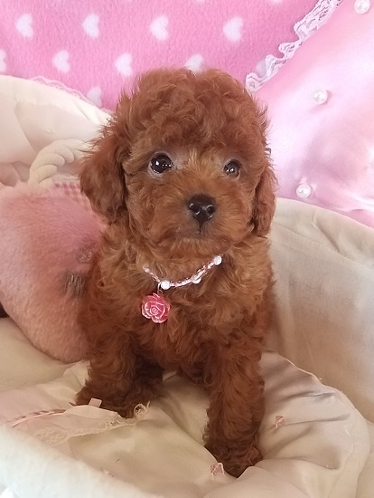 トイプードルの子犬(ID:1241511088)の5枚目の写真/更新日:2017-09-20