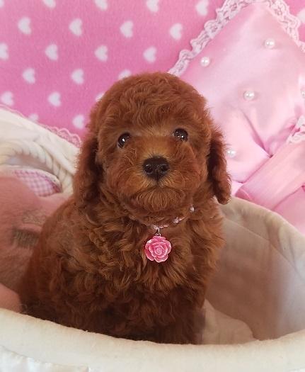 トイプードルの子犬(ID:1241511089)の1枚目の写真/更新日:2017-09-20