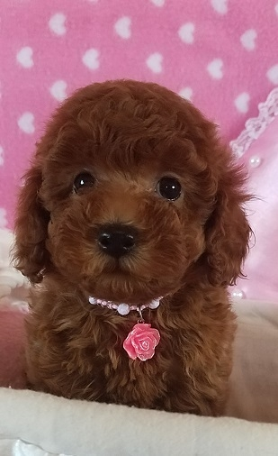 トイプードルの子犬(ID:1241511089)の2枚目の写真/更新日:2017-09-20