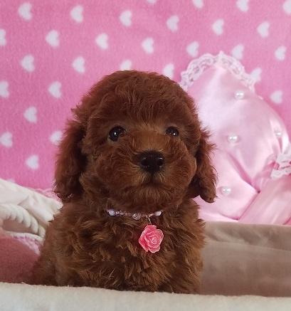 トイプードルの子犬(ID:1241511089)の3枚目の写真/更新日:2017-09-20