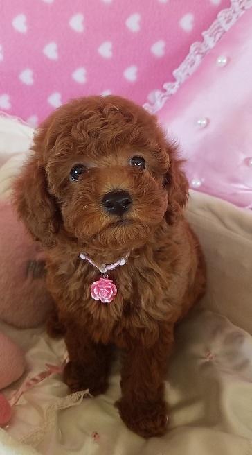 トイプードルの子犬(ID:1241511089)の4枚目の写真/更新日:2017-09-20