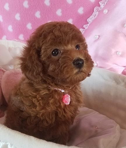 トイプードルの子犬(ID:1241511089)の5枚目の写真/更新日:2017-09-20