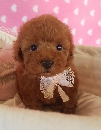 トイプードルの子犬(ID:1241511090)の1枚目の写真/更新日:2017-09-20