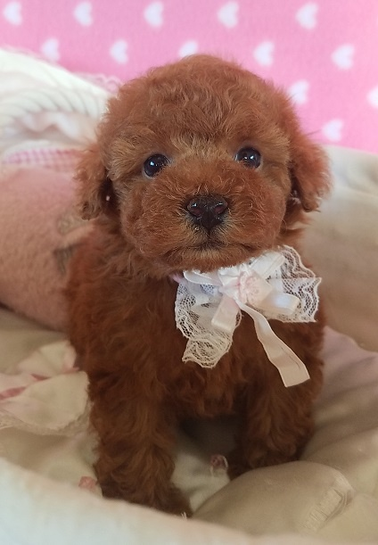 トイプードルの子犬(ID:1241511090)の2枚目の写真/更新日:2017-09-20