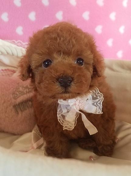 トイプードルの子犬(ID:1241511090)の3枚目の写真/更新日:2017-09-20