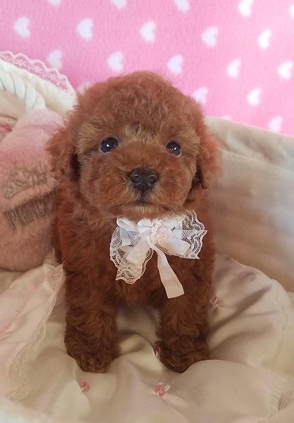 トイプードルの子犬(ID:1241511090)の4枚目の写真/更新日:2017-09-20