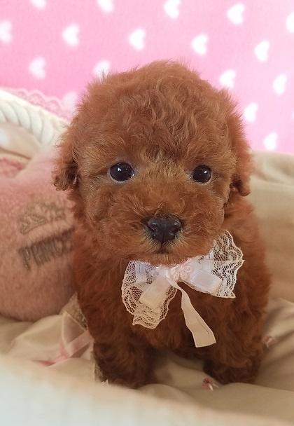 トイプードルの子犬(ID:1241511090)の5枚目の写真/更新日:2017-09-20