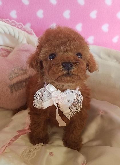 トイプードルの子犬(ID:1241511091)の1枚目の写真/更新日:2017-09-21