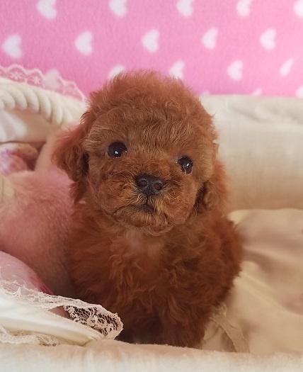 トイプードルの子犬(ID:1241511091)の2枚目の写真/更新日:2017-09-21
