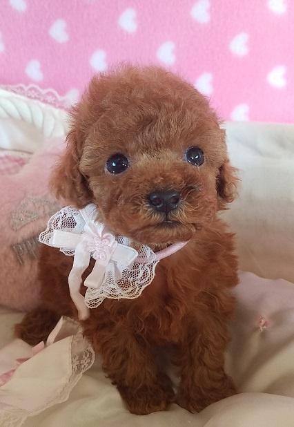 トイプードルの子犬(ID:1241511091)の3枚目の写真/更新日:2017-09-21