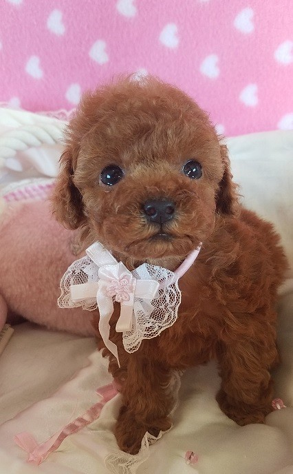 トイプードルの子犬(ID:1241511091)の4枚目の写真/更新日:2017-09-21