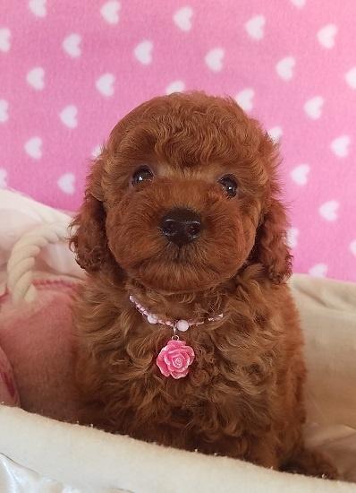 トイプードルの子犬(ID:1241511092)の1枚目の写真/更新日:2017-09-23