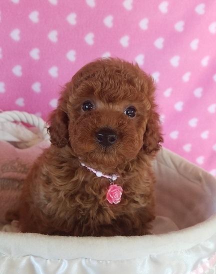 トイプードルの子犬(ID:1241511092)の2枚目の写真/更新日:2017-09-23