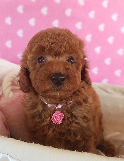 トイプードルの子犬(ID:1241511092)の4枚目の写真/更新日:2017-09-23