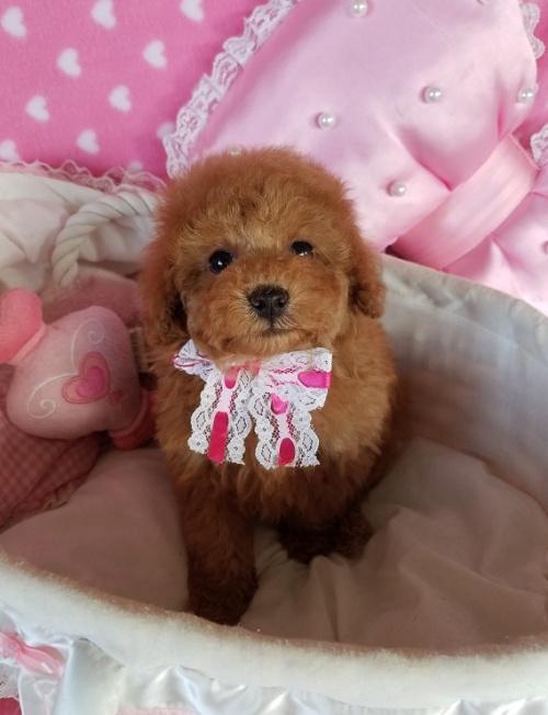 トイプードルの子犬(ID:1241511098)の1枚目の写真/更新日:2018-11-11