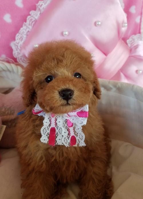 トイプードルの子犬(ID:1241511098)の2枚目の写真/更新日:2018-11-11